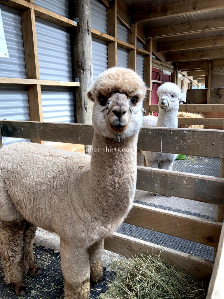 akaroa shamarra alpacas farm tour